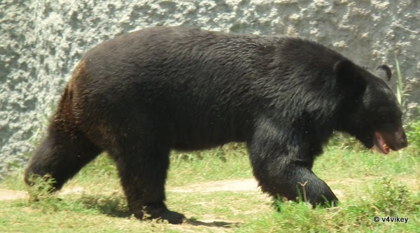 Indian Animal Black Bear