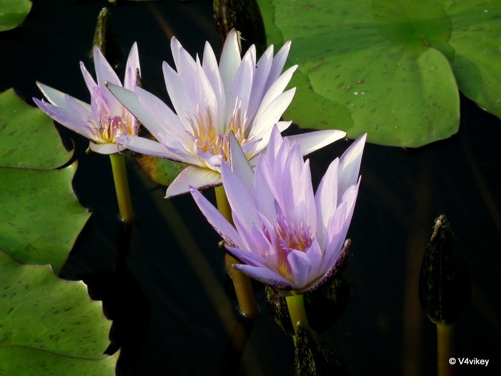 Blue Lotus Flower a Symbol of
