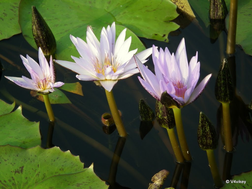 In Hinduism lotus flower