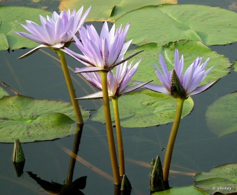 Water lilis