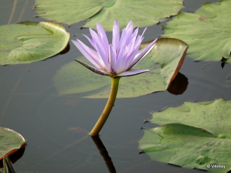 Nymphaeaceae, water lily