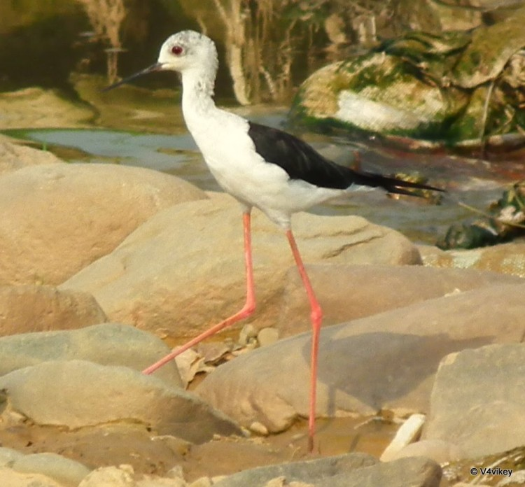 Red Wattled Lapwing: Tatiri Indian Bird
