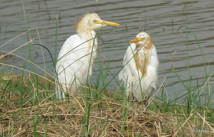 Cattle Egret Wallpapers