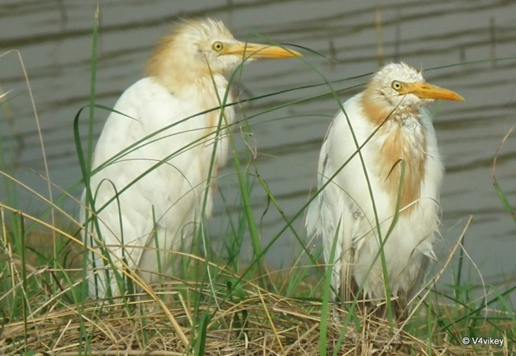 Cattle Egret birds Photographs