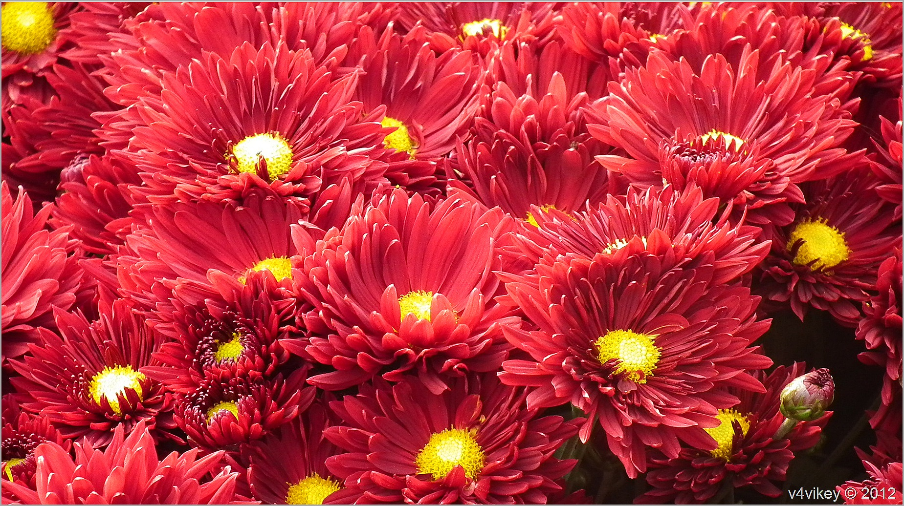 Red Color Chrysanthemum Flowers Photograph