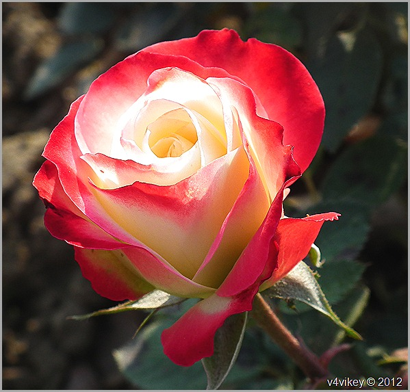 Red and White Rose Flower Photograph