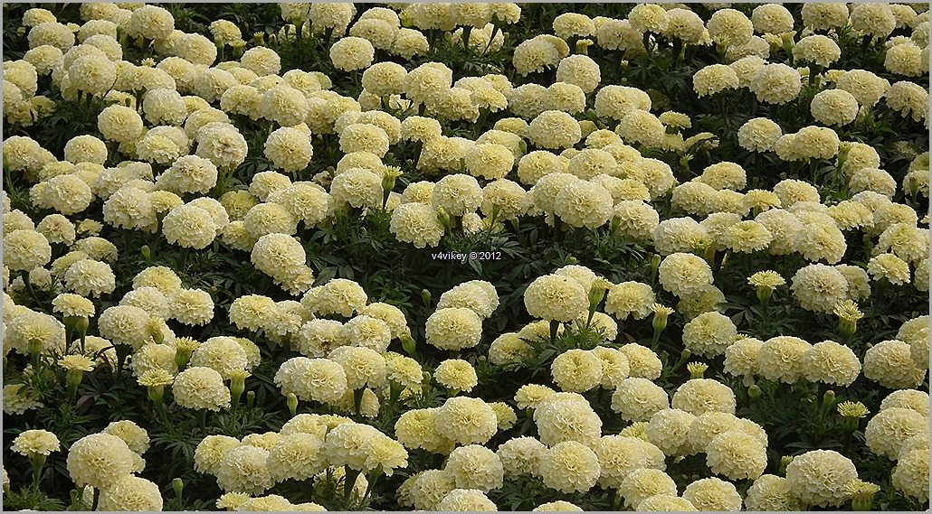 Chrysanthemum Yellow Flowers Wallpapers