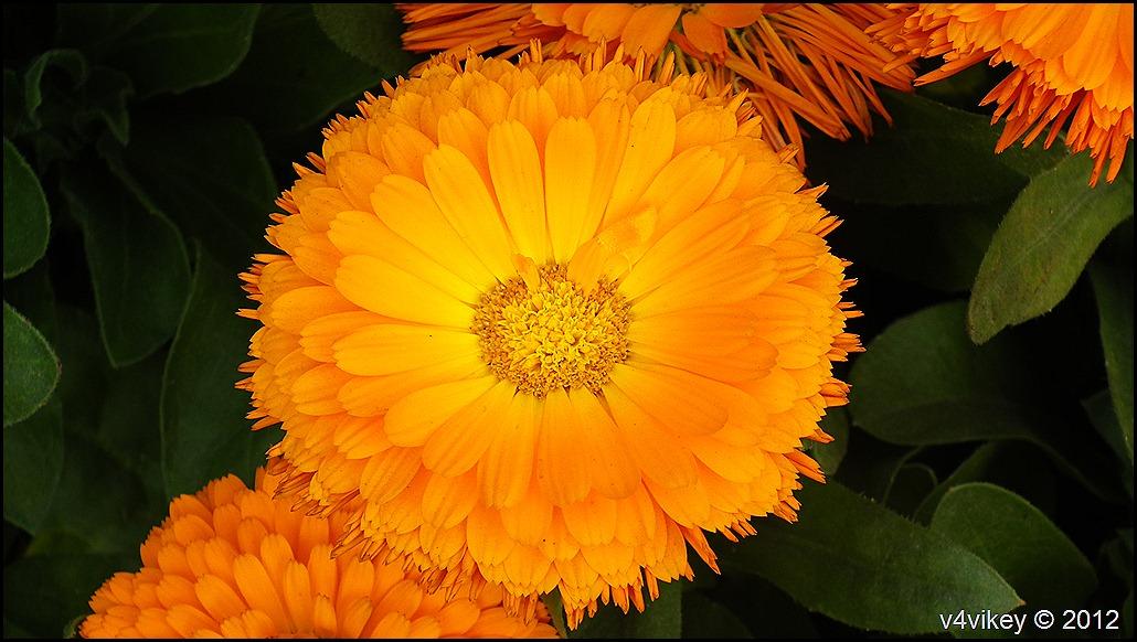 Orange Chrysanthemum Flowers Wallpapers