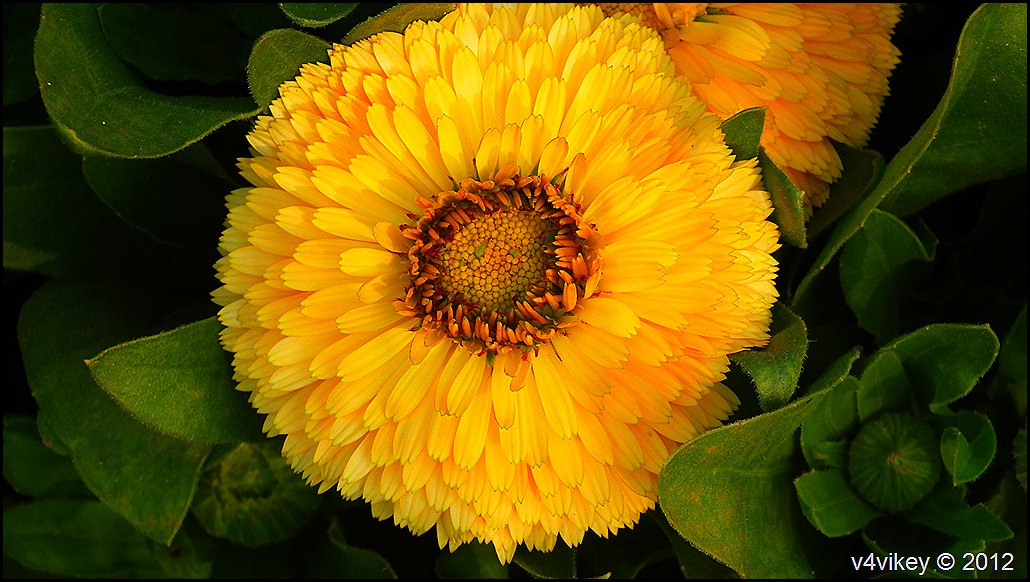 Yellow Chrysanthemum (Guldaudi) Flowers Wallpapers