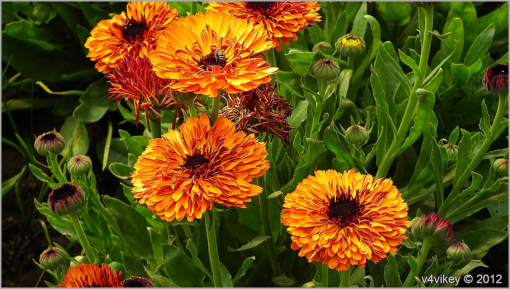 Chrysanthemum (Guldaudi) Flowers Wallpapers