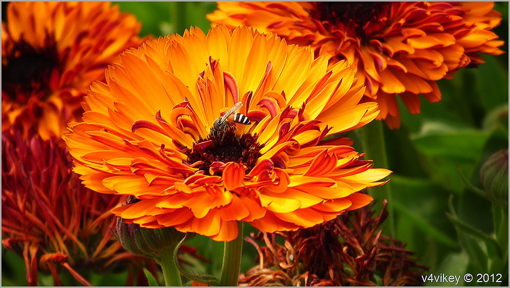 Orange Flower Chrysanthemum & Honey Bee Wallapapers
