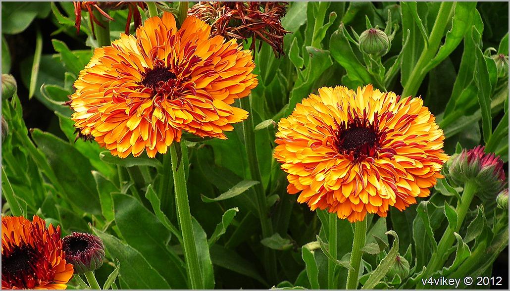 Chrysanthemum (Guldaudi) Flowers Wallpapers