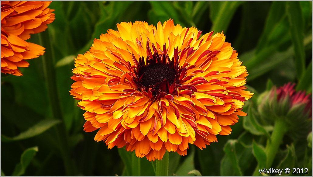 Chrysanthemum Orange Flowers Wallpapers