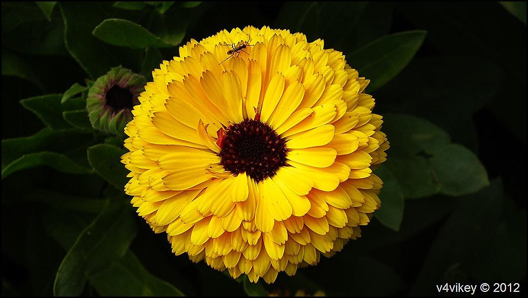 Yellow Chrysanthemum  Flowers Wallpapers