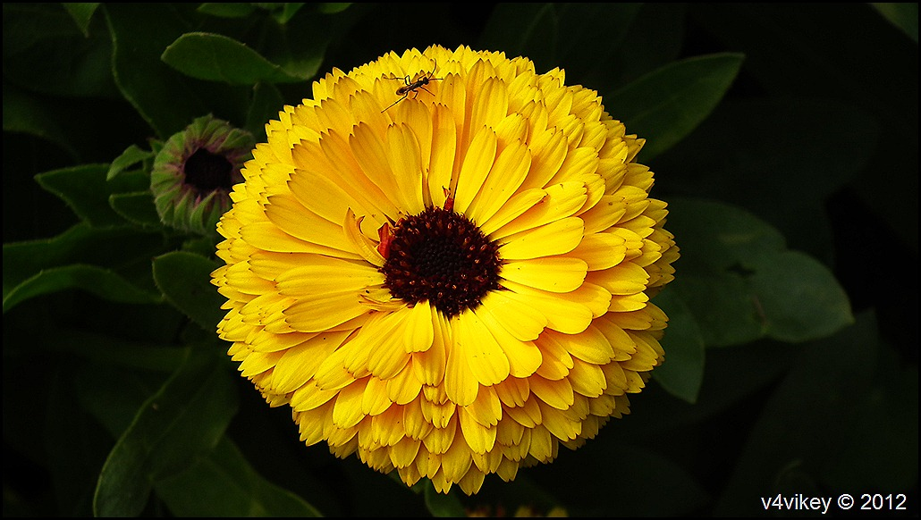 Yellow Chrysanthemum  Flowers Wallpapers