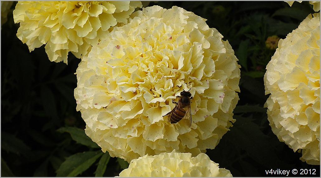 Yellow Chrysanthemum Flowers with Honey Bee Wallpapers