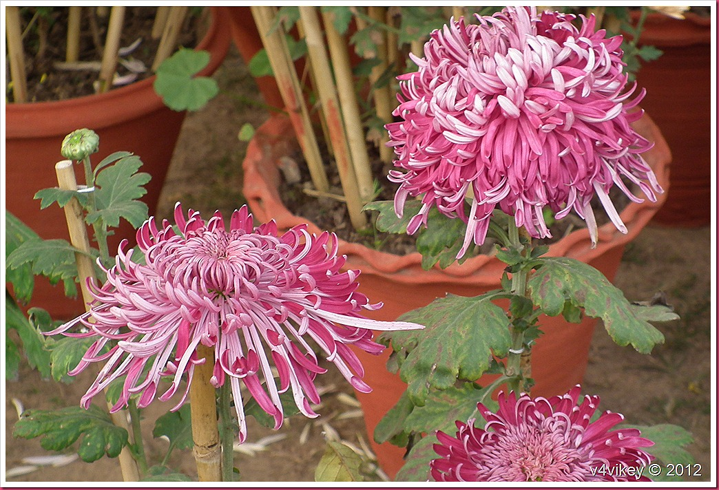 Pink Chrysanthemum Flower Wallpapers