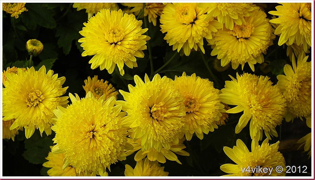 Yellow Color Chrysanthemum Flower Wallpaper