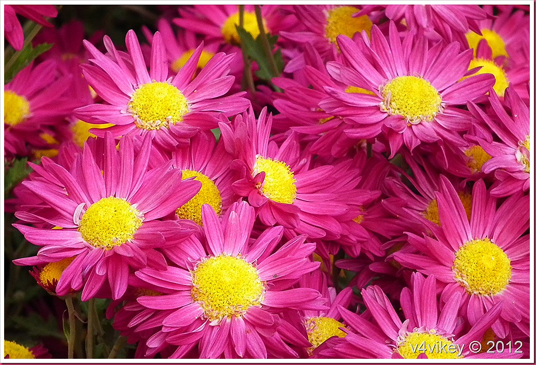 Magenta Color Chrysanthemum Flower Wallpapers
