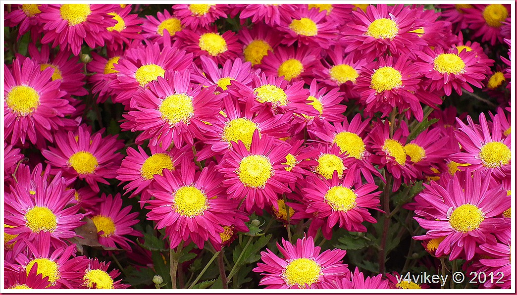 Magenta Color Chrysanthemum Flower Images