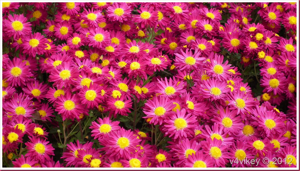 Beautiful magenta color chrysanthemum flower