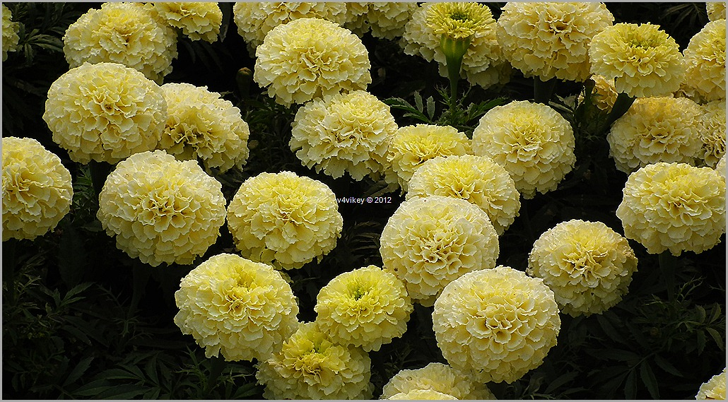 Chrysanthemum Yellow Flowers Wallpapers