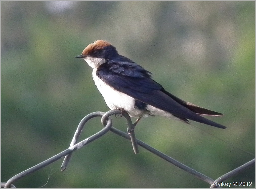 Wire Tailed Swallow -- Little and Beautiful Bird Wallpapers