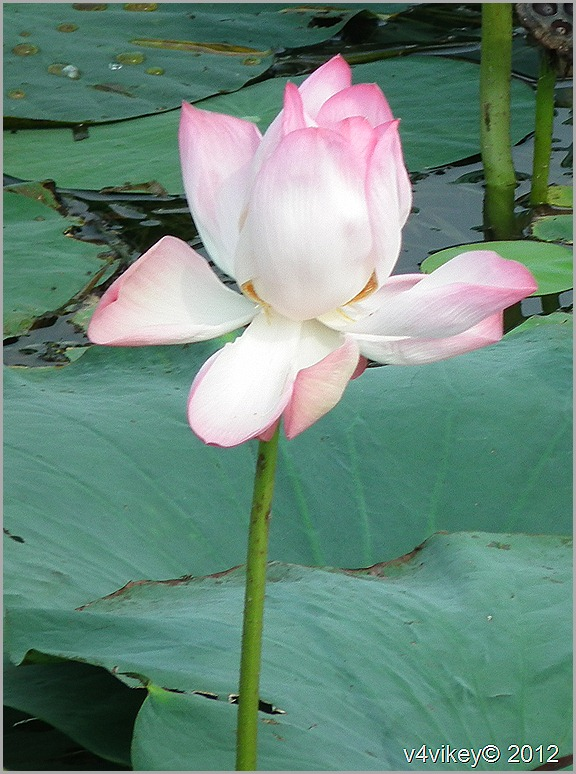 Lovely Pink Shaded Lotus Flower Wallpaper