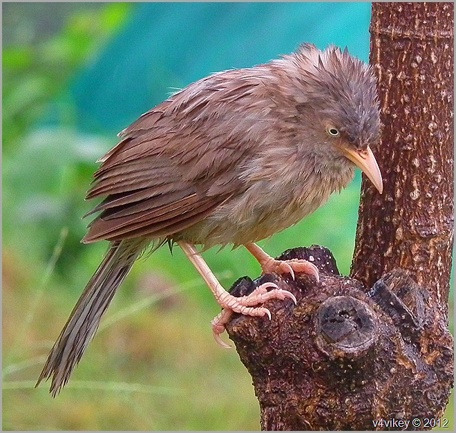 Jungle Babbler Photograph