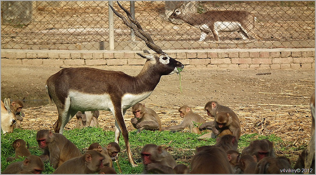Deer with monkey Photographs