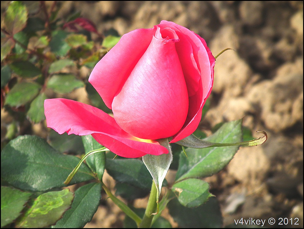 Beautiful Red Rose Flower Photograph