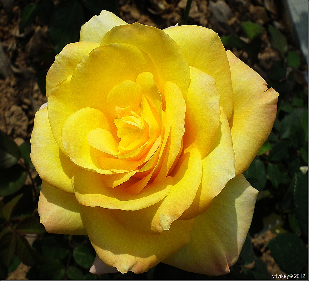 Yellow Rose Flower wallpapers and Photography