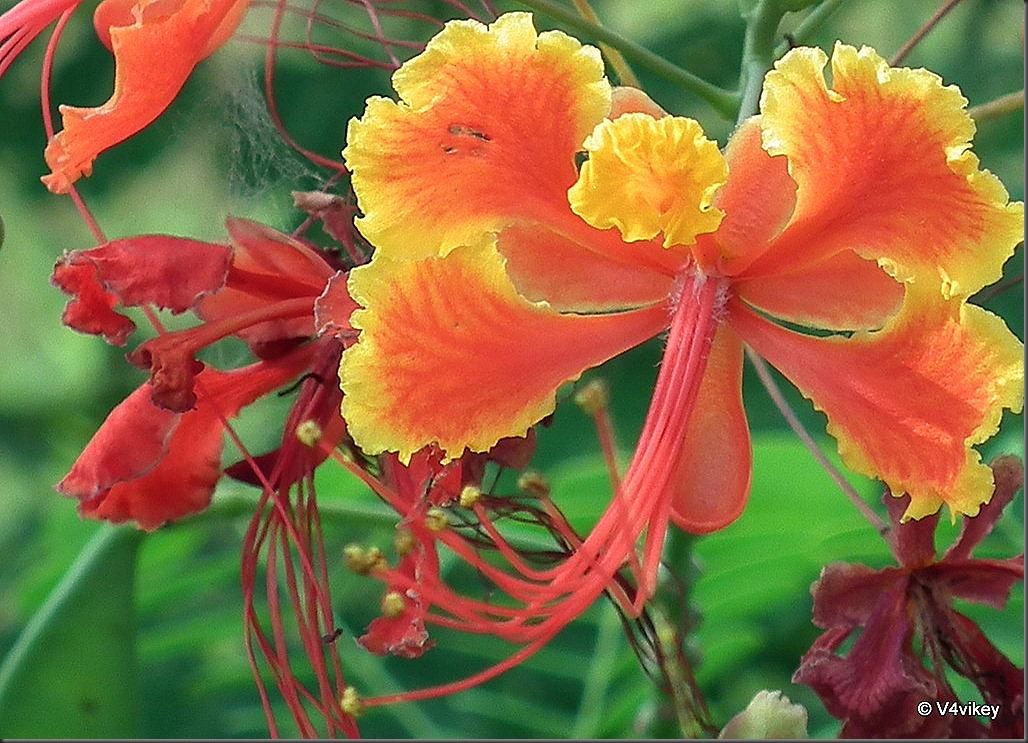 Fire Tree Flower Photographs