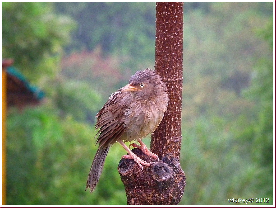 Common Indian bird Babbler images