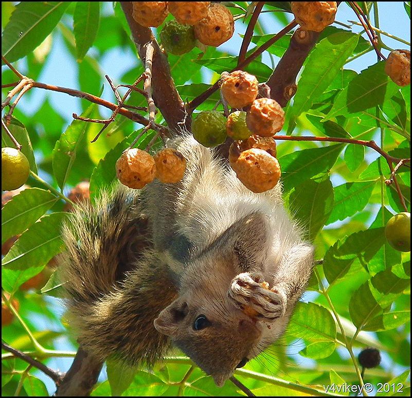 Palm Squirrel Photograph