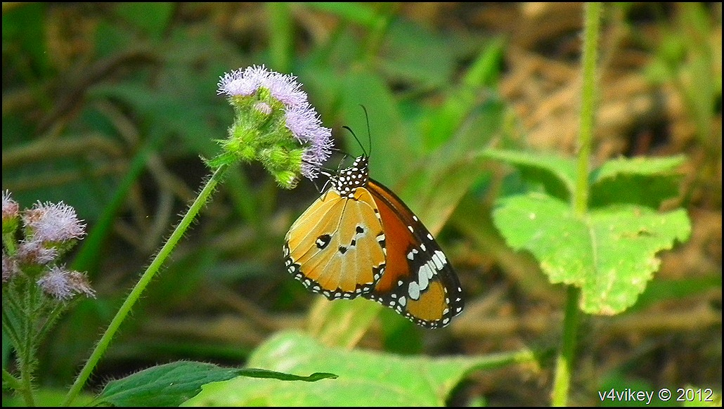 Butterfly on purple flowers photography