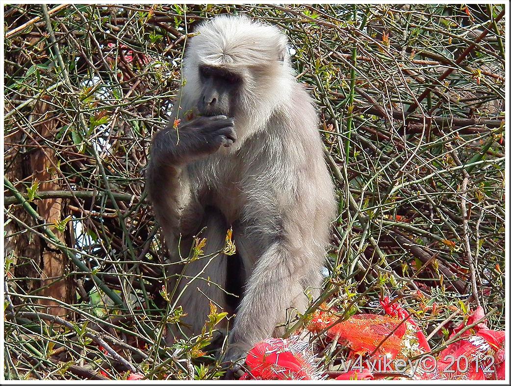 leaf eating monkeys