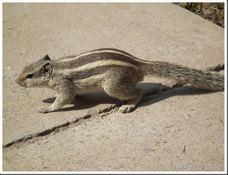Indian squirrel | Wallpaper Tadka