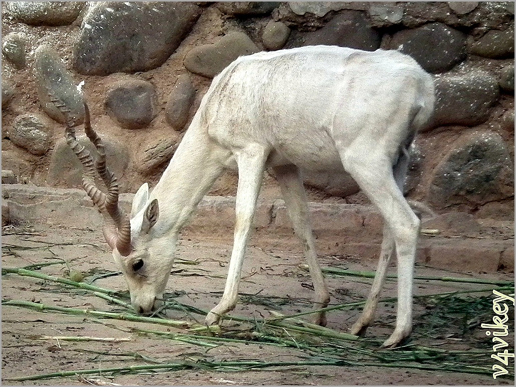 White Deer photograph