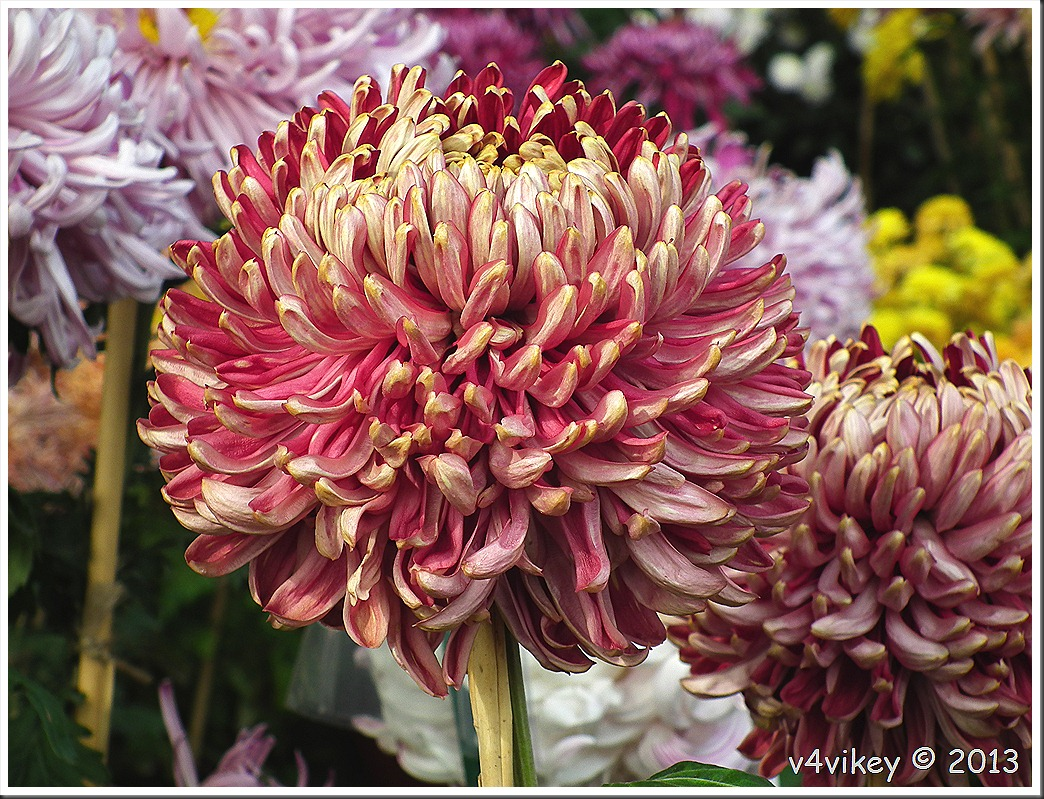 Chrysanthemums have a wealth of meaning
