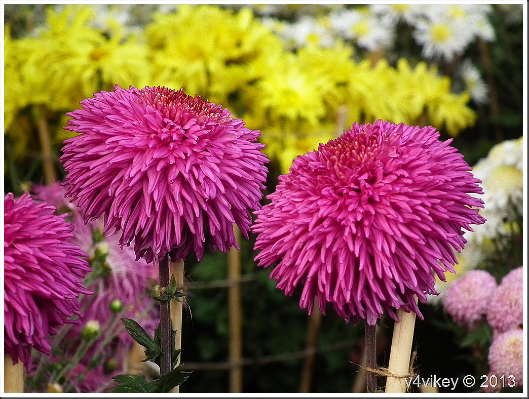 Most Popular Flowers Entrancing With Chrysanthemum is one of the most popular flowers, next only to rose. Picture