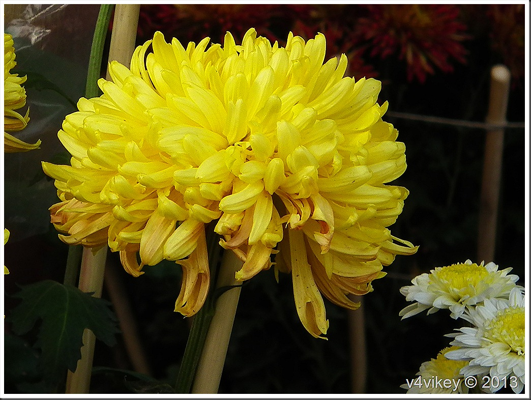 Lovely Chrysanthemum Flower