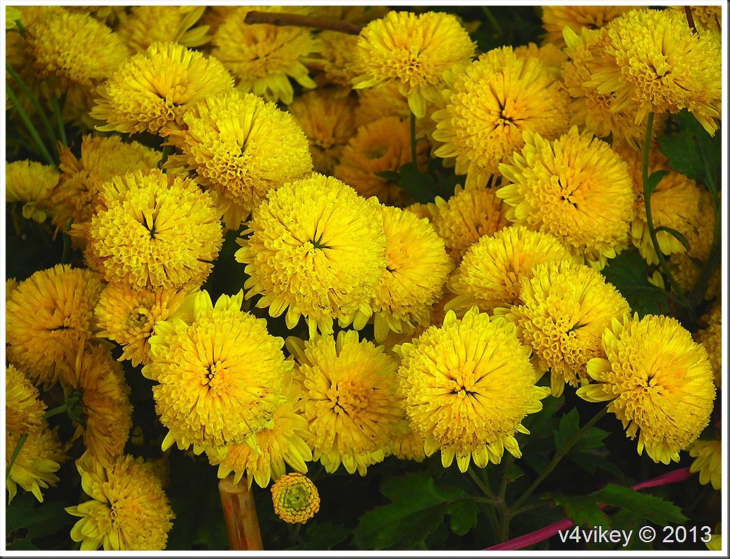Chrysanthemum Yellow