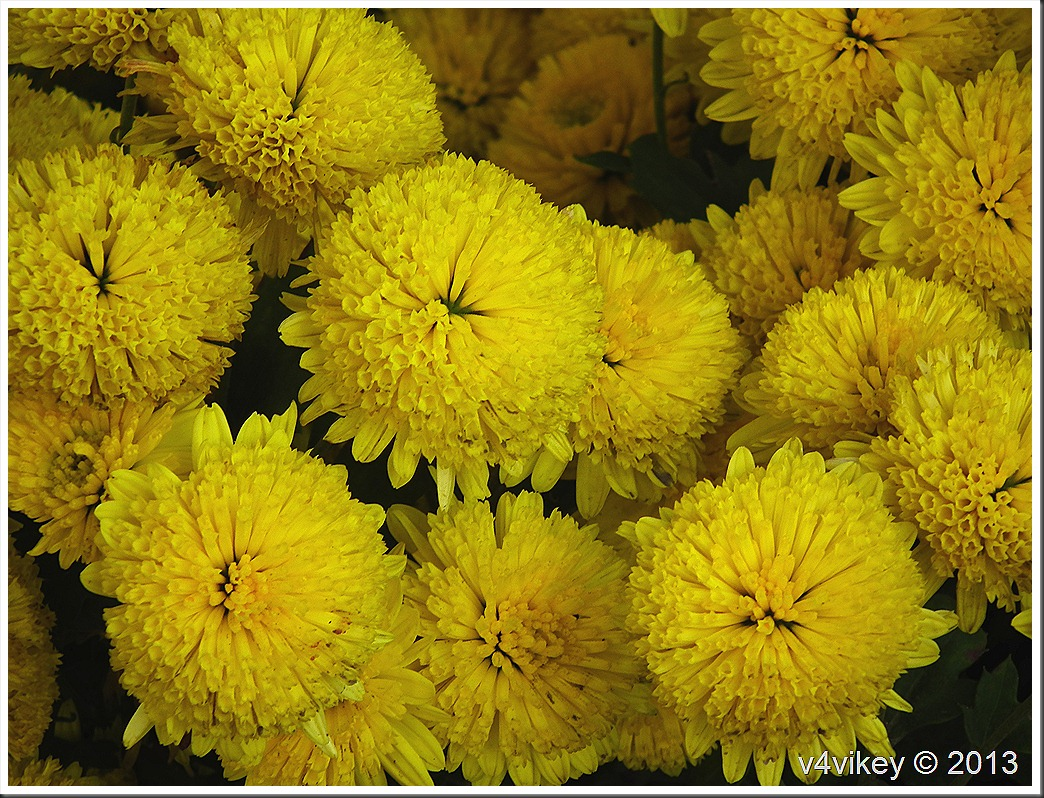 Chrysanthemum Yellow Flowers Wallpaper Tadka