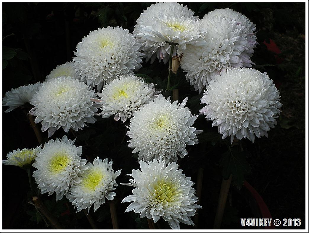 White Chrysanthemum Flowers Wallpaper Tadka