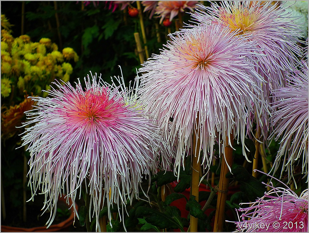 Lovely Chrysanthemum Morifolium White Pink Flowers Wallpaper Tadka