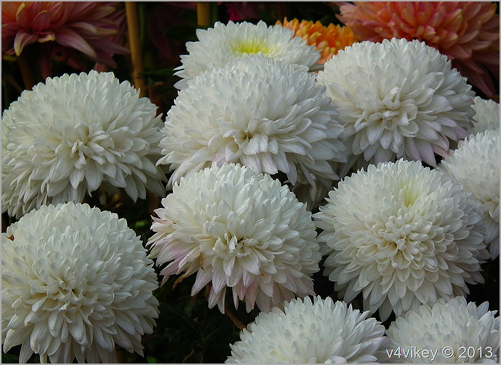 CHRYSANTHEMUM WHITE FLOWERS  WALLPAPERS