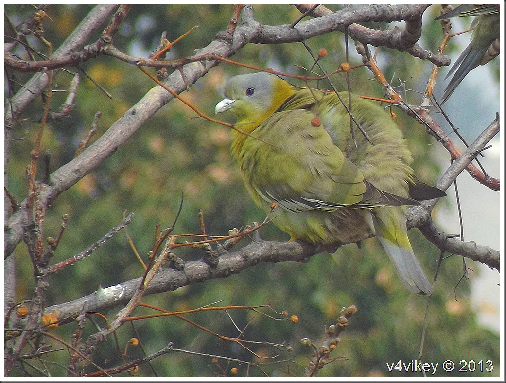 Green Pigeons on a Tree