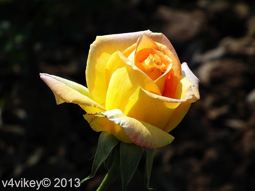 yellow rose coloring pages - photo #45
