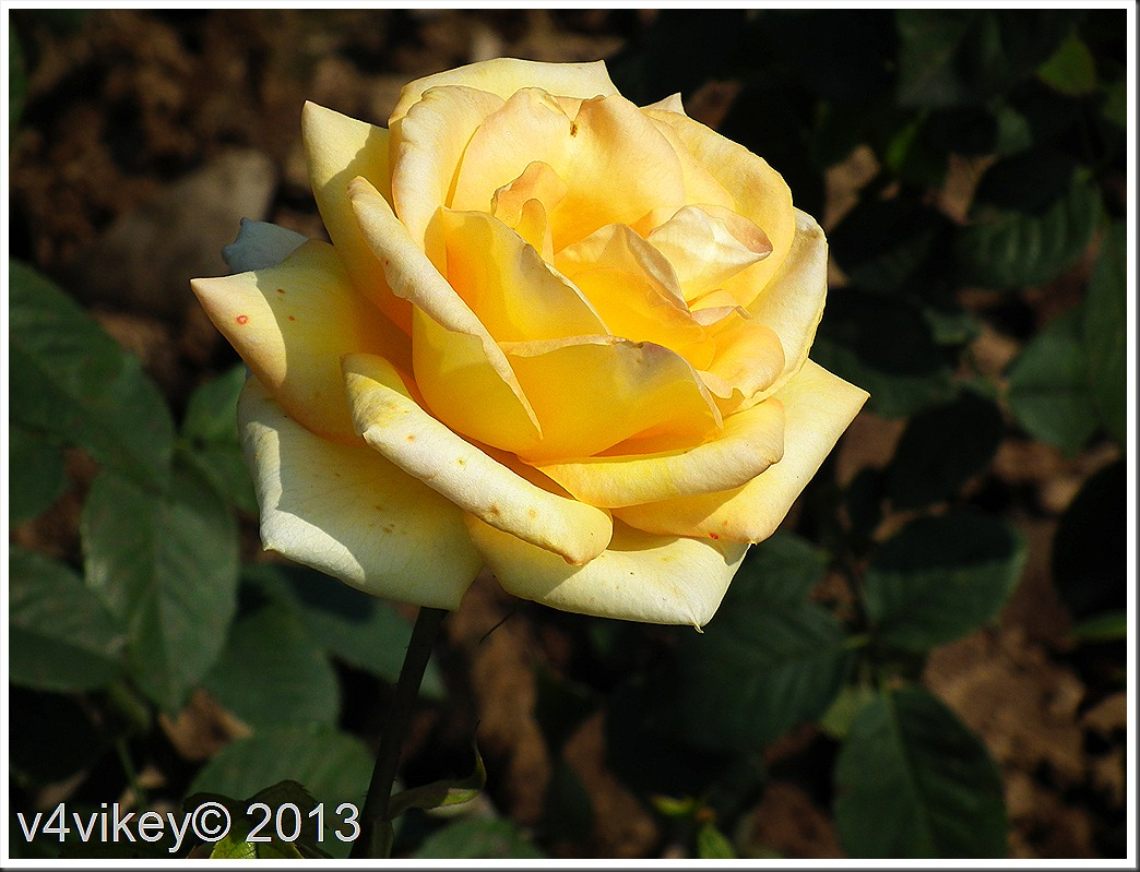 Yellow color rose flower Wallpaper and photographs www.wallpaper-tadka.com